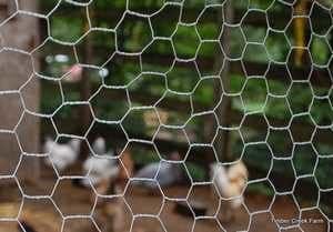 Exemple de grillage galvanisé pour l'enclos des poules