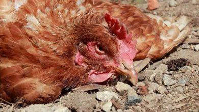 Coccidiose poule symptômes et traitement