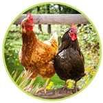 Connaître les races de poules pondeuses