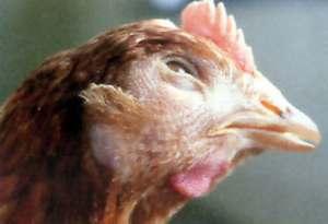 Comment soigner le coryza chez la poule