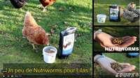 Vidéo insectes pour les poules