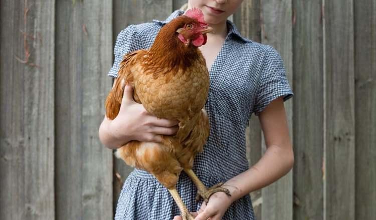 Comment peser une poule