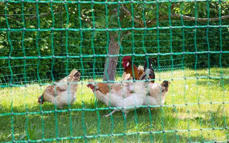 Choisir le bon filet de 50 m pour un enclos poules