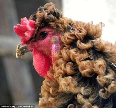 Beau portrait d'un coq frisé