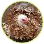Une petite poule Bantam frisée
