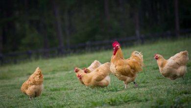 Photo de L'Orpington : une jolie poule ronde au caractère paisible