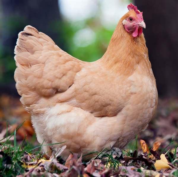 Belle poule Orpington fauve