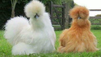 Photo de La poule Soie : caractère, ponte et éleveurs