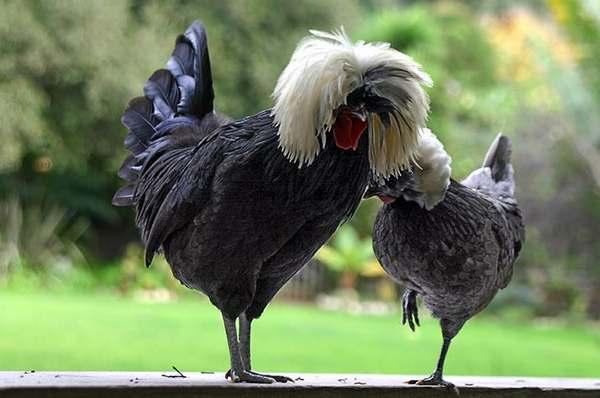 Poule et coq race Hollandaise huppée ou à huppe