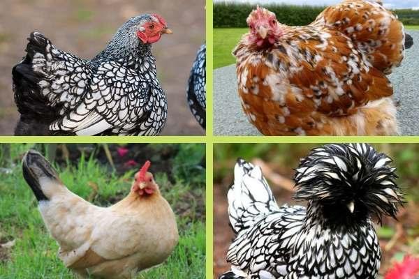 Les races de poules naines
