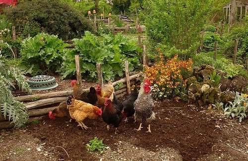 Un jardin délimité par des barrières pour empêcher les poules d'accéder aux plantations