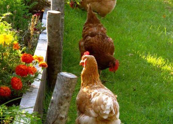 Élever des poules en ville c'est possible ?