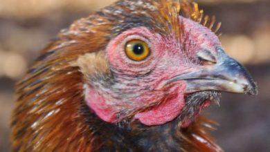 La maladie de Marek chez les poules