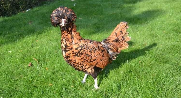 Belle poule Padoue plumage doré