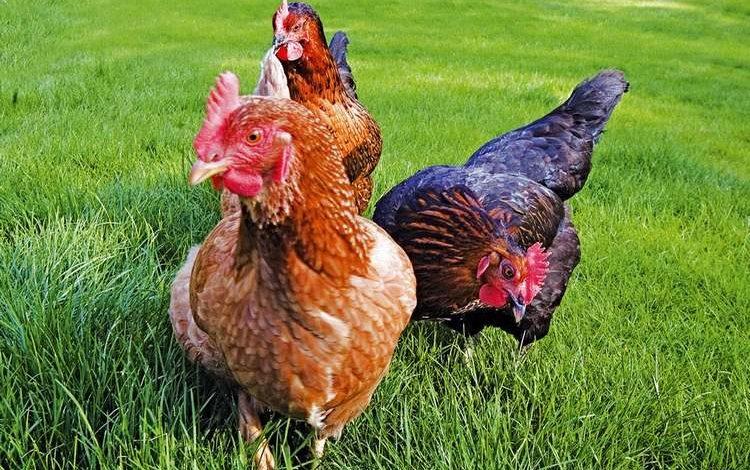 Mieux comprendre pourquoi les poules meurent subiitement