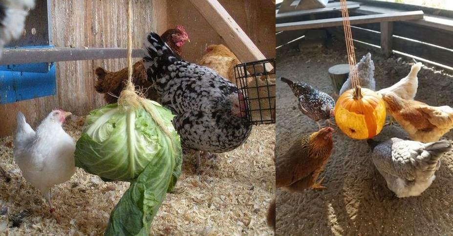 legumes poules