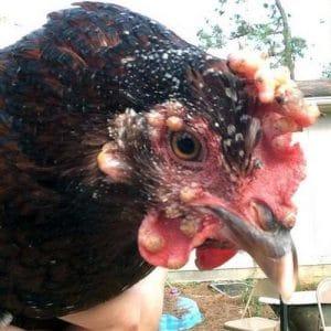 Pustules de variole aviaires sur barbillons et crête