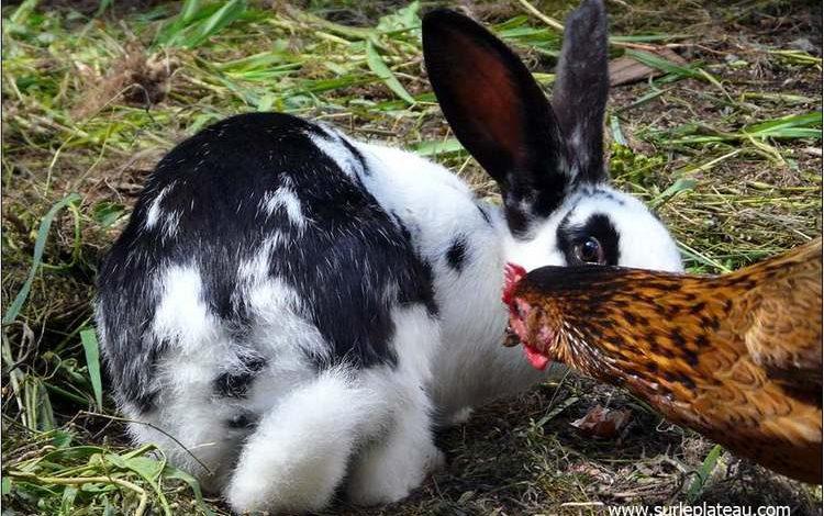 Comment faire cohabiter des poules et des lapins ?