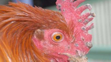 Poule présentant les symptômes caractéristiques de la variole aviaire