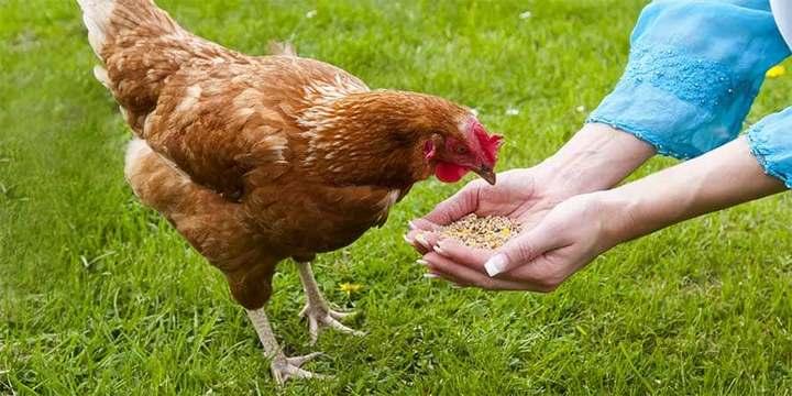 Quelle quantité de graines en ration par jour et par poule ?