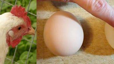 Photo de Bronchite infectieuse chez les poules : symptômes et soins