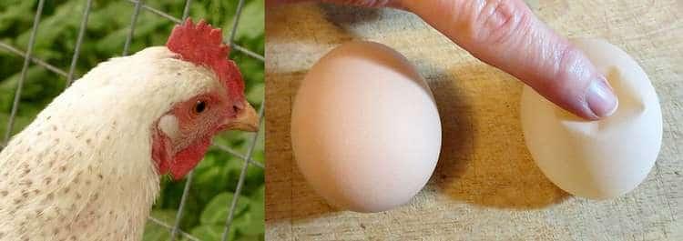 La bronchite infectieuse chez les poules : symptômes et traitement