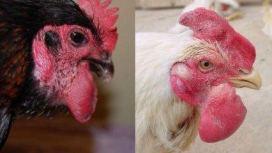 Symptômes et traitement du choléra aviaire ou pasteurellose