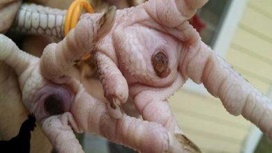 Comment prévenir la pododermatite ou bumblefoot chez la poule