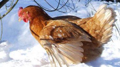 Comment aider les poules par grand froid