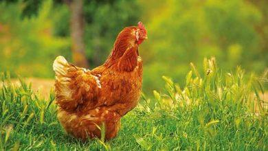 Photo de Boiterie poule : toutes les causes possibles