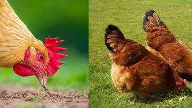Photo de Alimentation des poules : que faut-il leur donner à manger ?