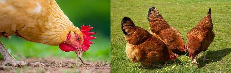 Alimentation des poules : bien les nourrir