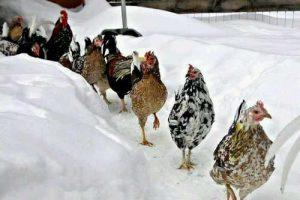 Ces poules dans la neige ne semblent pas craindre le froid