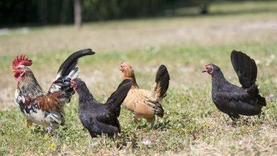 Photo de La poule Serama : origine et caractéristiques