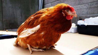 Comment traiter une ponte interne ou un œuf coincé chez une poule
