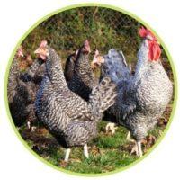 Groupe poules et coq gris du Vercors