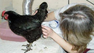 Prolapsus cloacal chez une poule : symptômes et traitements