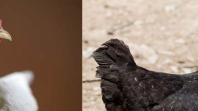 Photo de La poule Cou nu : une race au look étonnant à découvrir