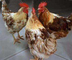 Voici un gynandromorphes mi-poule, mi-coq