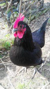 Poule de 5 ans devenue coq