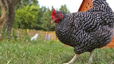 Solutions pour faire garder ses poules pendant les vacances
