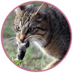 Le chat est un excellent chasseur de rongeurs