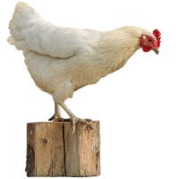 Conseils d'éleveurs pour poules pondeuses