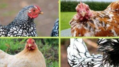 Photo de Les poules d'ornement : races et adresses éleveurs