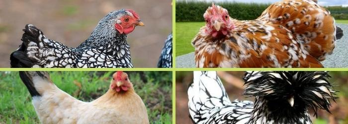 Découvrez ces adorables races de poules d'ornement