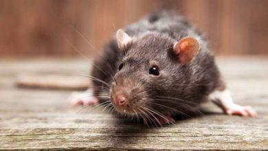 Le danger des rats et souris au poulailler. Agir en prévention