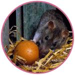 Les rats sont aussi gourmands d'œufs de nos poules