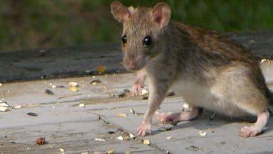Photo de Rats et souris au poulailler : comment s'en débarrasser ?