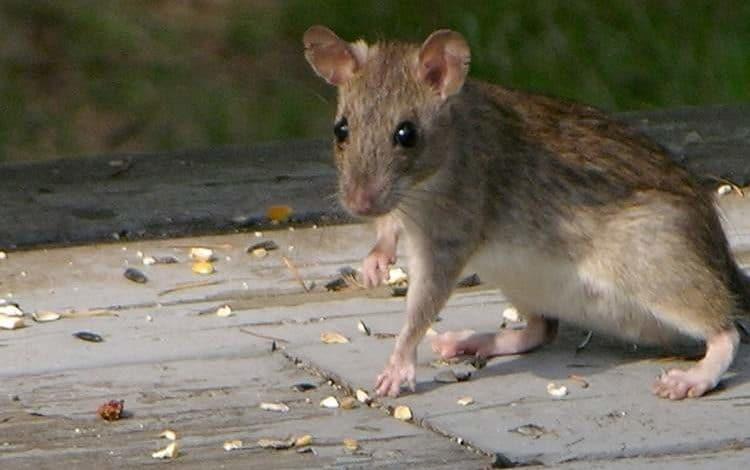 Conseils pour se débarrasser des rats et des souris au poulailler