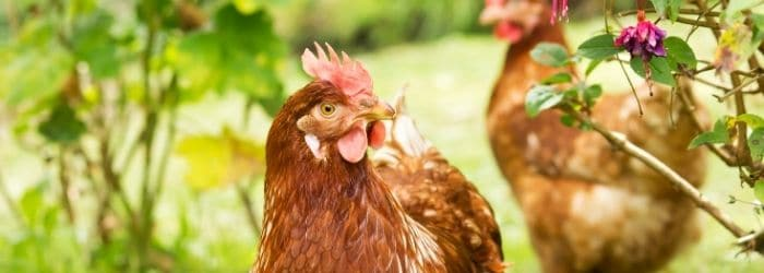 Photo de 3 bonnes raisons de vermifuger les poules